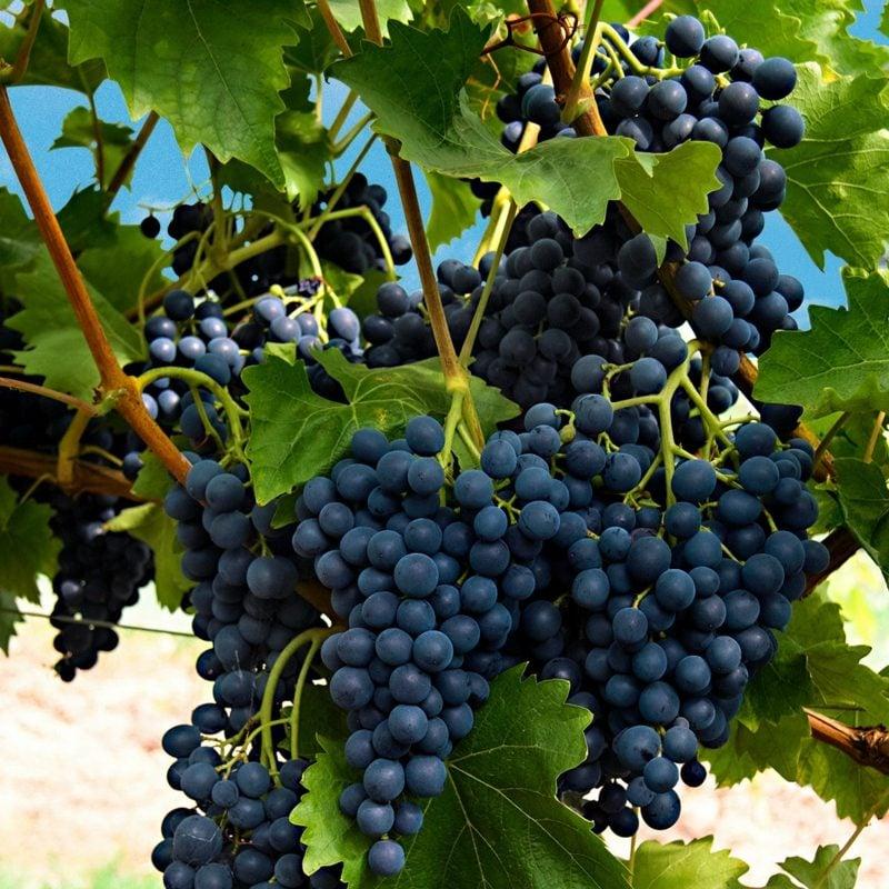 Weintrauben im garten anbauen Spalier