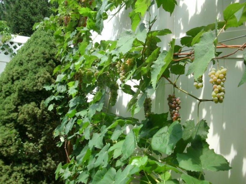 Weinrebe Spalier Garten Gestaltungsideen