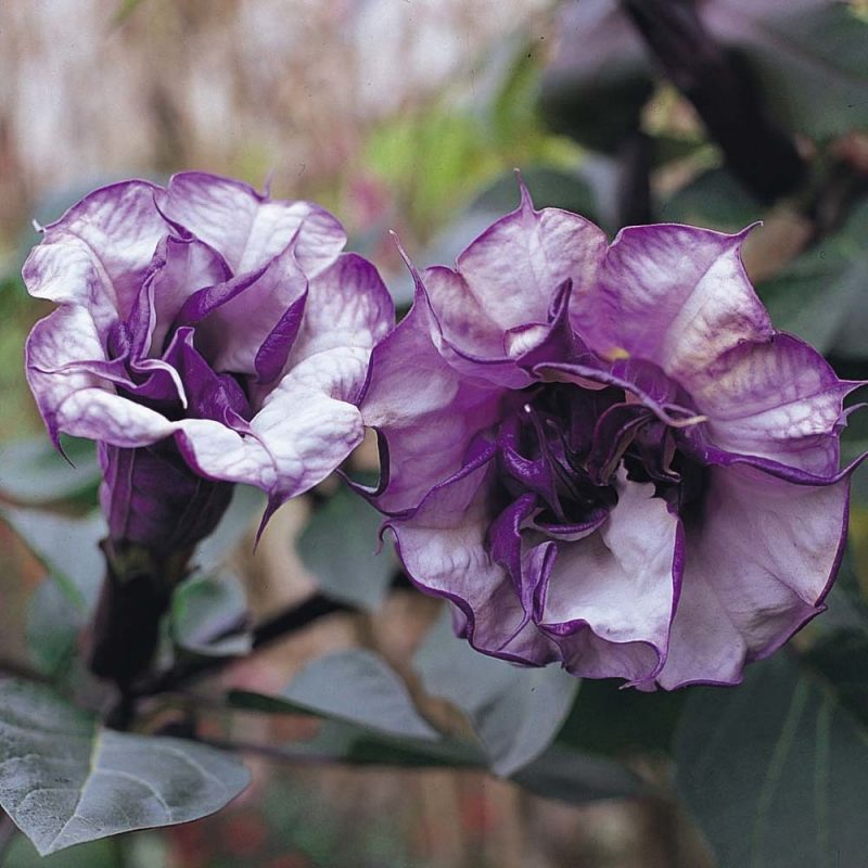Engelstrompete: Die Farbenvielfalt der Blüten!