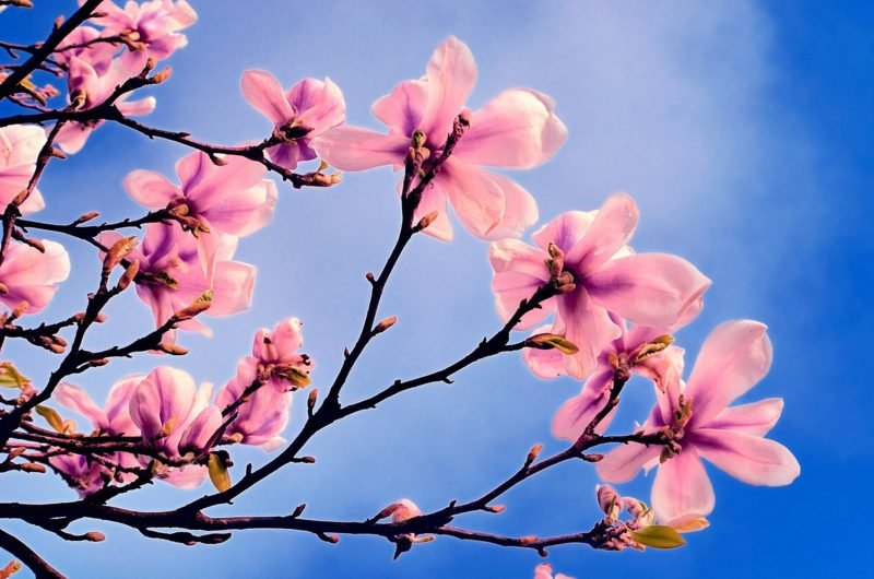 Fruhlingsbilder Rosa Blumen