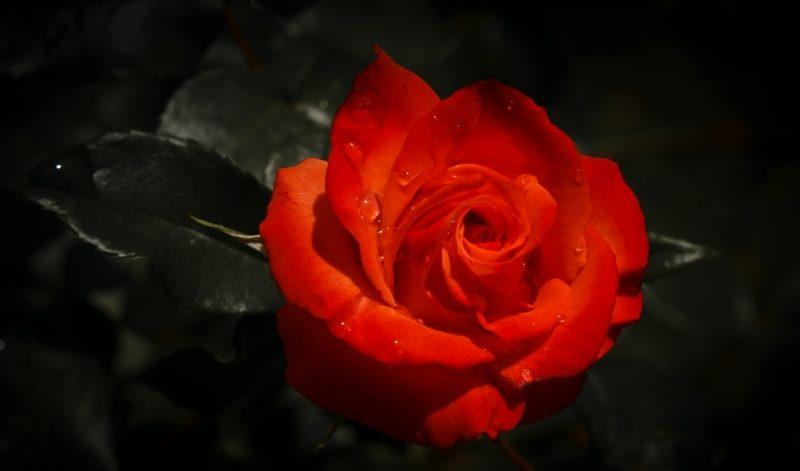 rote Rose Alchemie Blume Eros-Prinzip Lotus