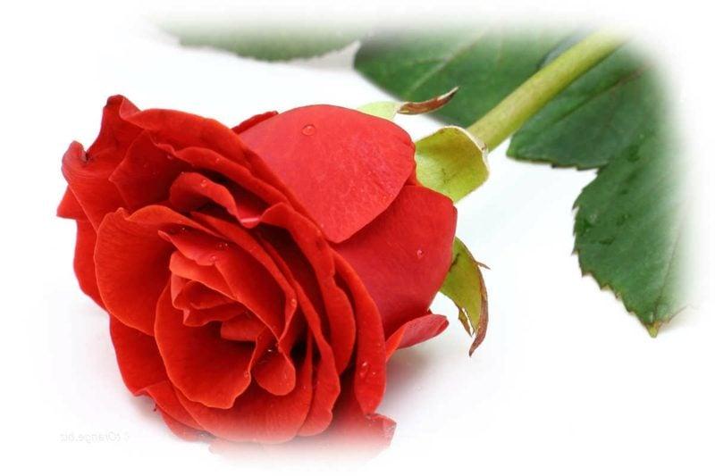 Eros-Prinzip Lotus Mandala Pflanzen Rosa