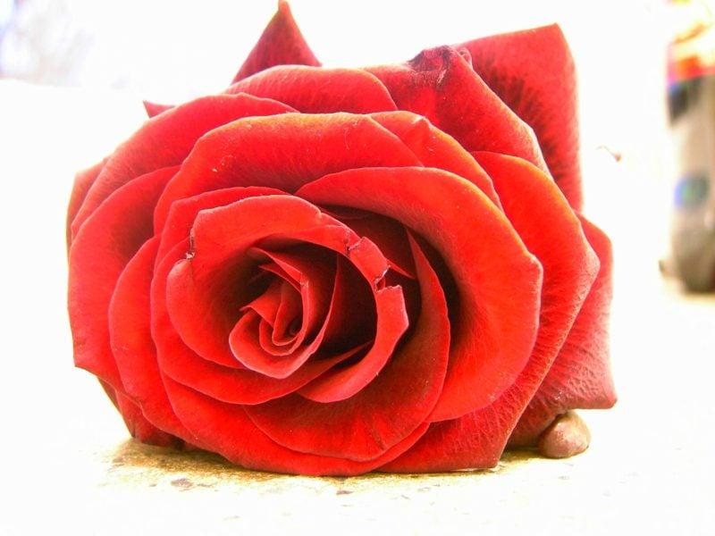 Lotus MandalaRosa Rosenkranz Rot Pflanzen Rubedo