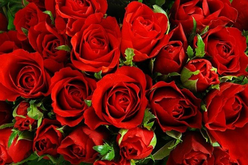Diese zeitlos schöne rote Rose ist die ideale Geschenkidee für Romantiker