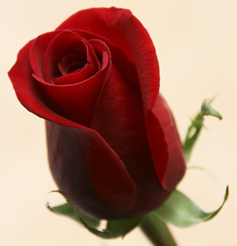 Rosenkranz Rot Rubedo Die Rose ist ein umfassendes, mannigfaltiges Symbol