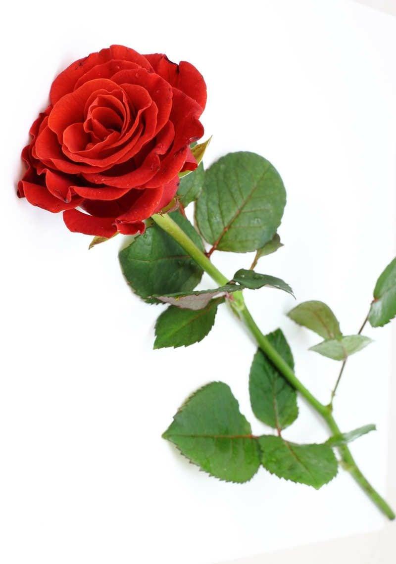 rote rose Liebe Geschenk