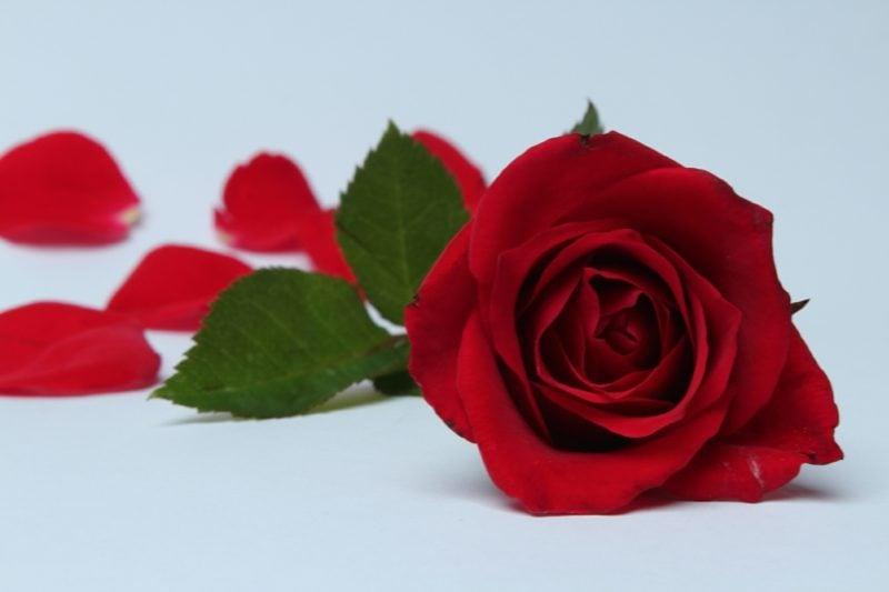 Alchemie Blume Eros-Prinzip Lotus