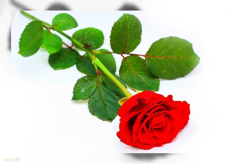 Pflanzen Rubedo Die Rose ist ein umfassendes, mannigfaltiges Symbol