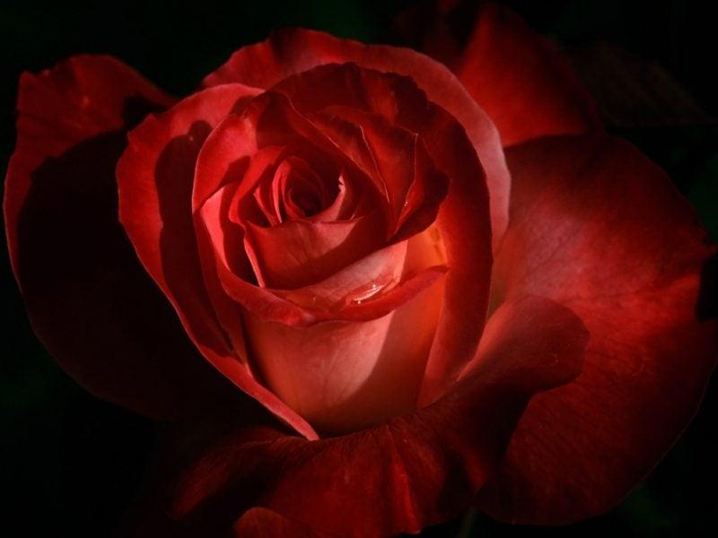 Valentinstag: Alternativen für Rosen im Februar