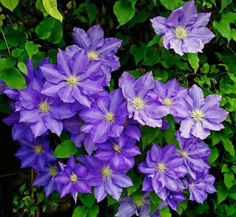 Clematis schneiden herrliche Dunkellila Blühten