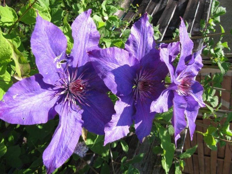 Clematis pflanzen und schneiden nützliche Tipps