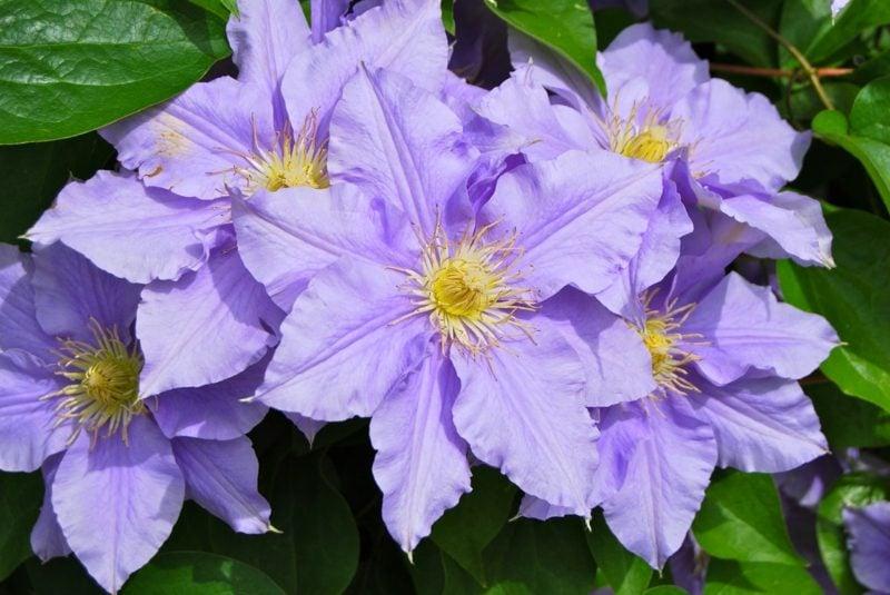 Clematis Pflege und schneiden prachtvolle Blühten