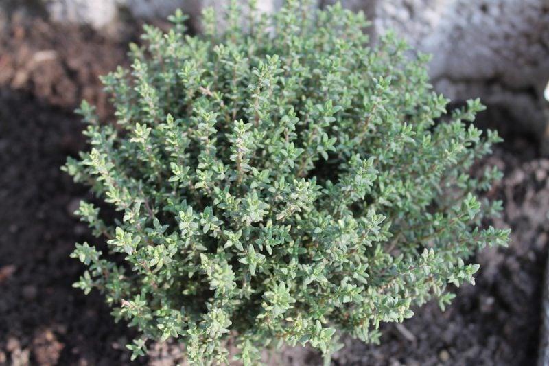 Echter Thymian – Heilpflanzen