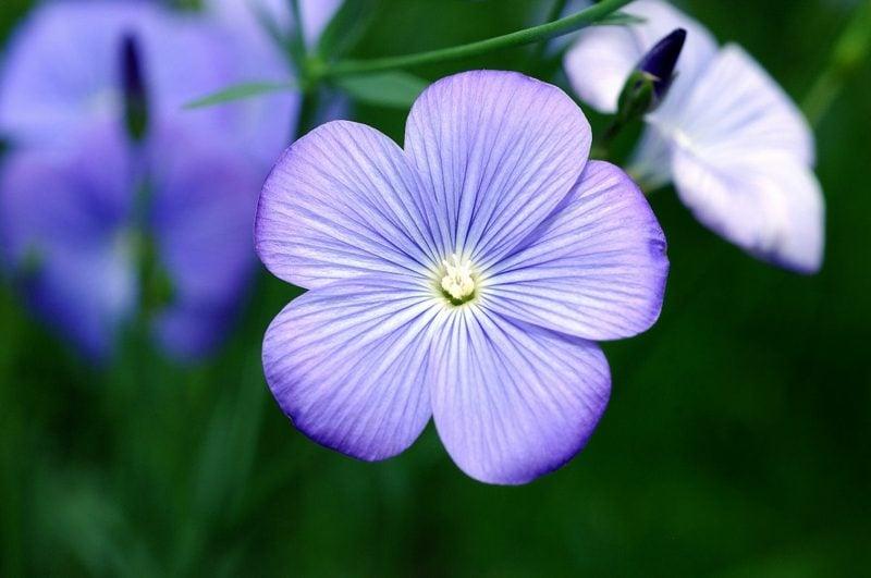 Leinsamen gesund Flachs Pflanze