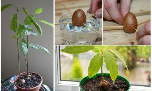 Avocado pflanzen Anleitung