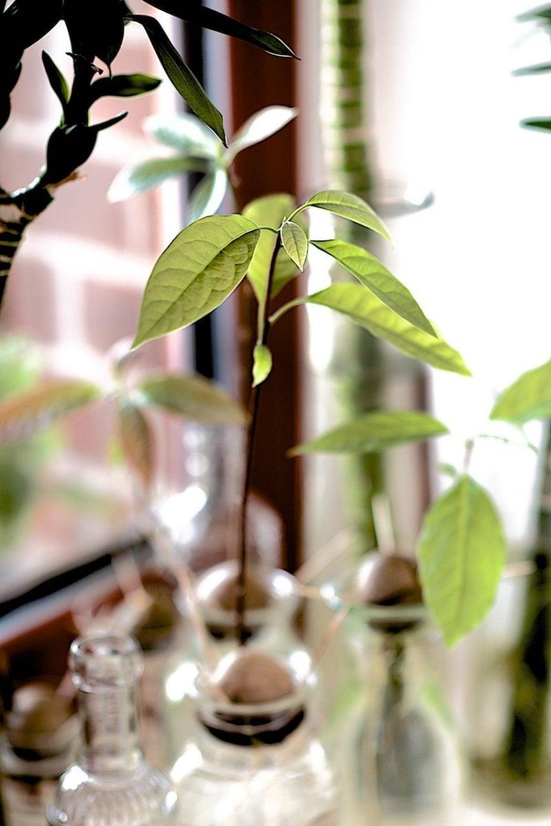 Avocado selber züchten