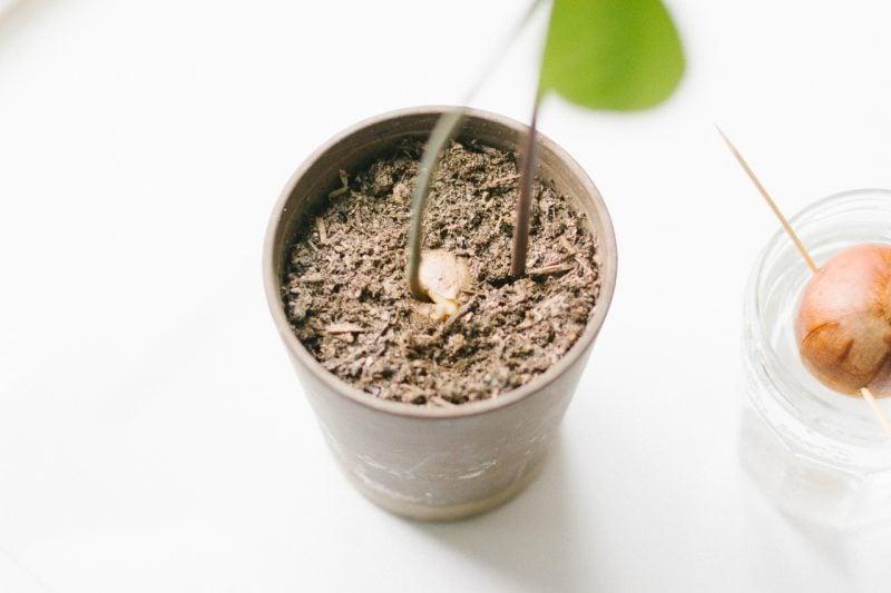 Avocadokern einpflanzen im Blumentopf