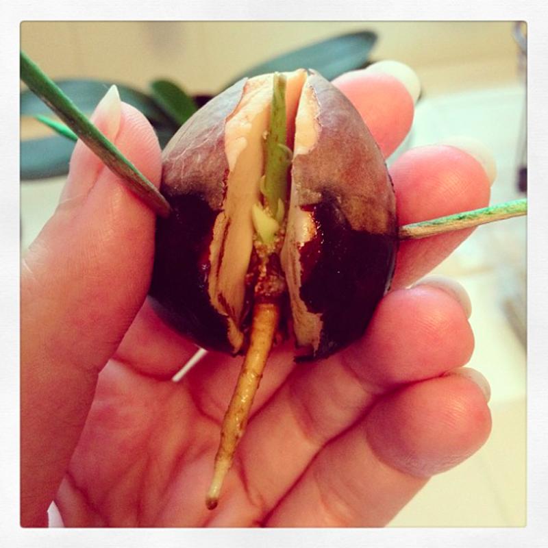 Avocadokern pflanzen - ausführliche Schritt-für-Schritt Anleitung mit Bildern