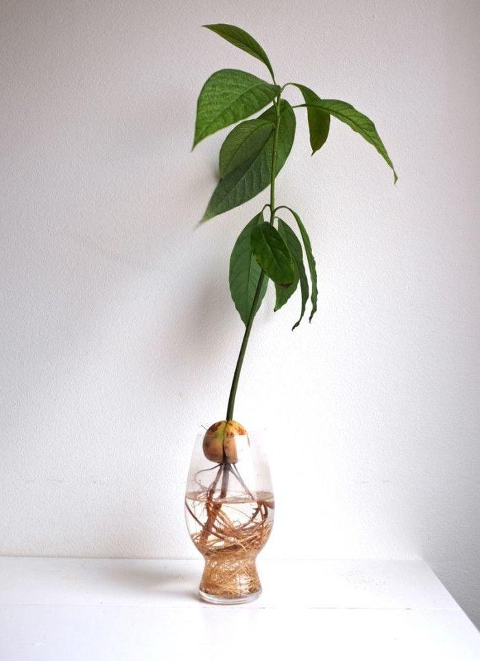 avocado pflanzen schritt f r schritt anleitung von kern zur avocado pflanze diy garten. Black Bedroom Furniture Sets. Home Design Ideas