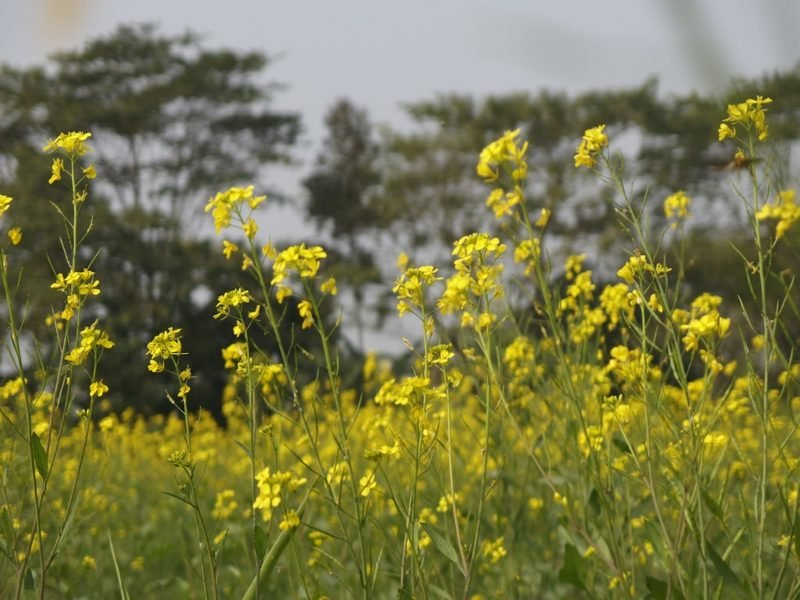 Ist Senf gesund? Über Senfpflanze, Senfkörner und Co