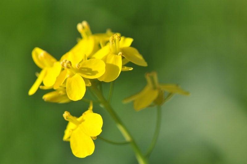 Die Senfpflanze Senfherstellung Ist Senf gesund? Über Senfpflanze, Senfkörner und Co