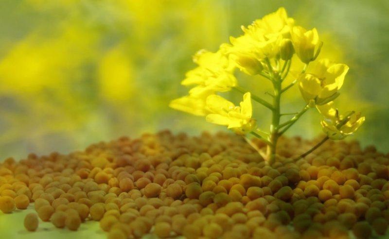 Die Senfpflanze Senfherstellung Ist Senf gesund? Über Senfpflanze, Senfkörner und Co Weisser Senf