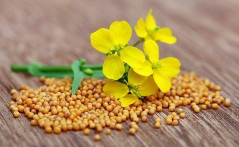 Senf anbauen, ernten, essen
