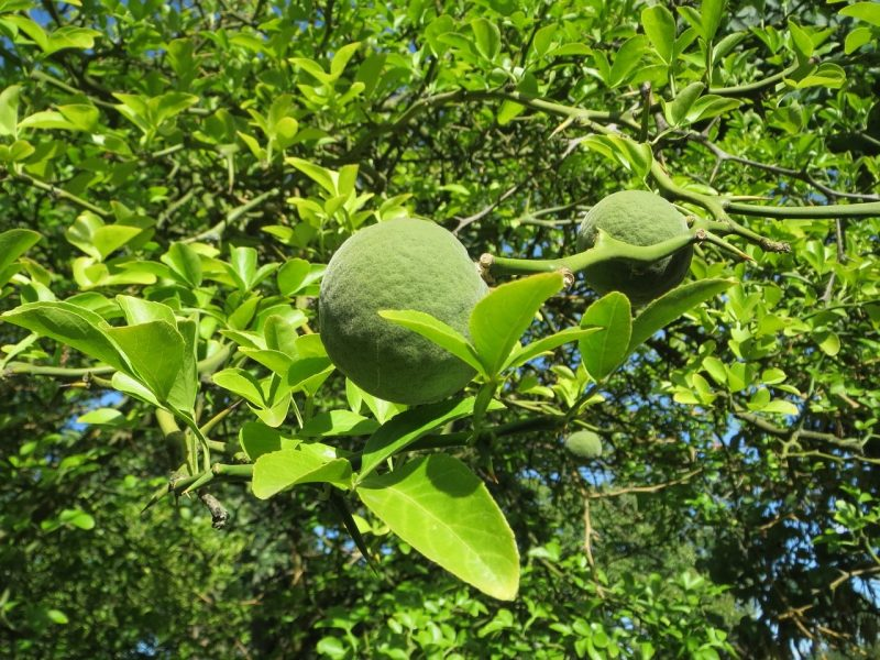 Zitruspflanzen – Die Dreiblättrige Orange