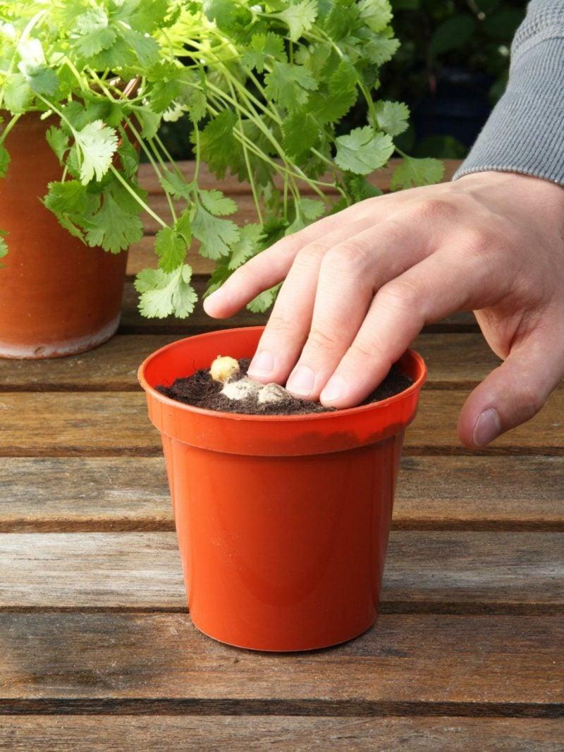 einpflanzen ingwer zu hause topf