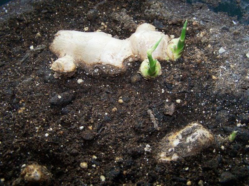 pflanzen küchengerwürz ingwer