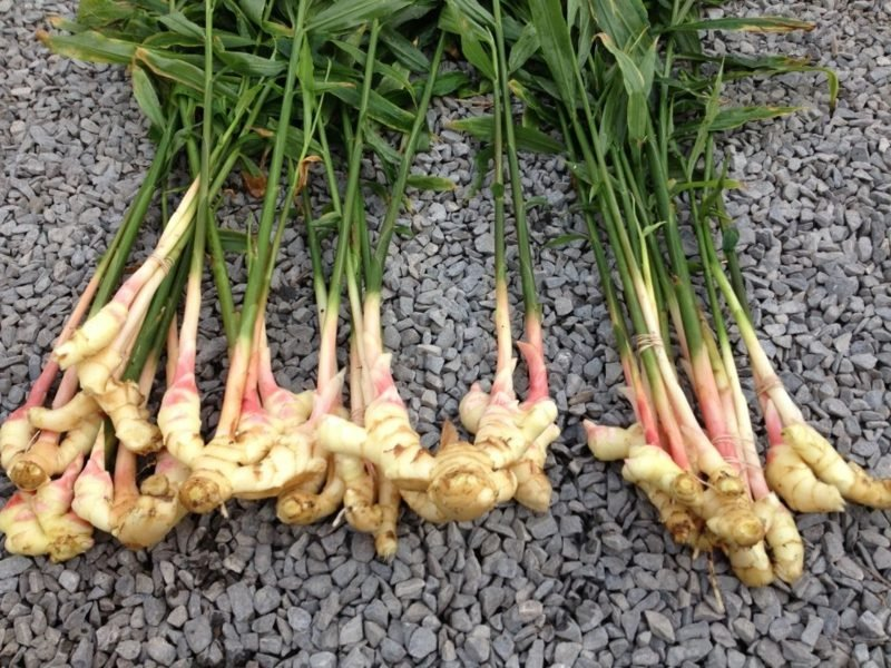 rhizome ingwer pflanzen selbst