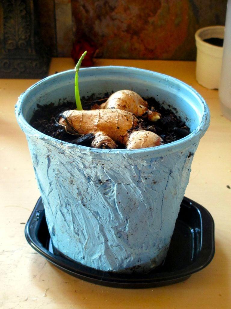 selbst ingwerpflanze anbauen