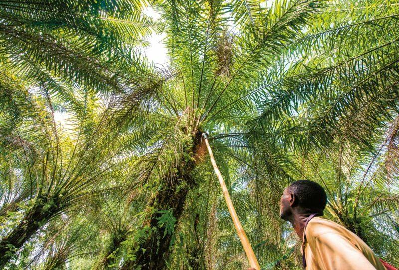 Palmölherstellung pflanzliches Fett Ӧlpalme