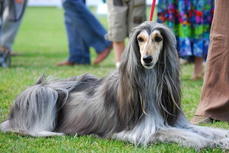 groβe Hunderassen Afghanischer Windhund
