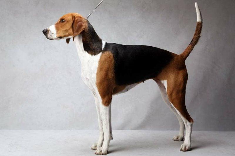 groβe Hunderassen American Foxhound