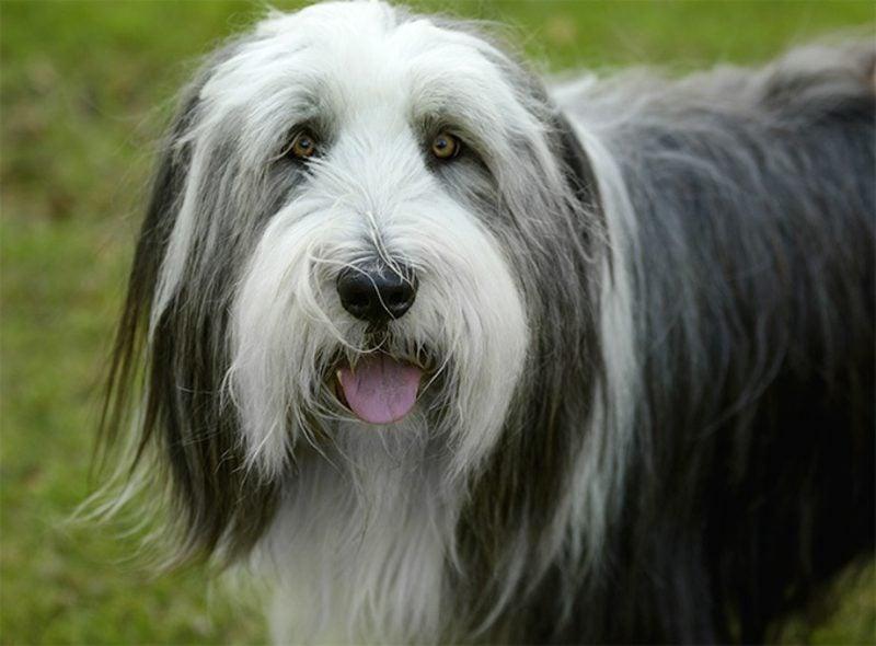 Hunderassen mit Bild Bearded Collie