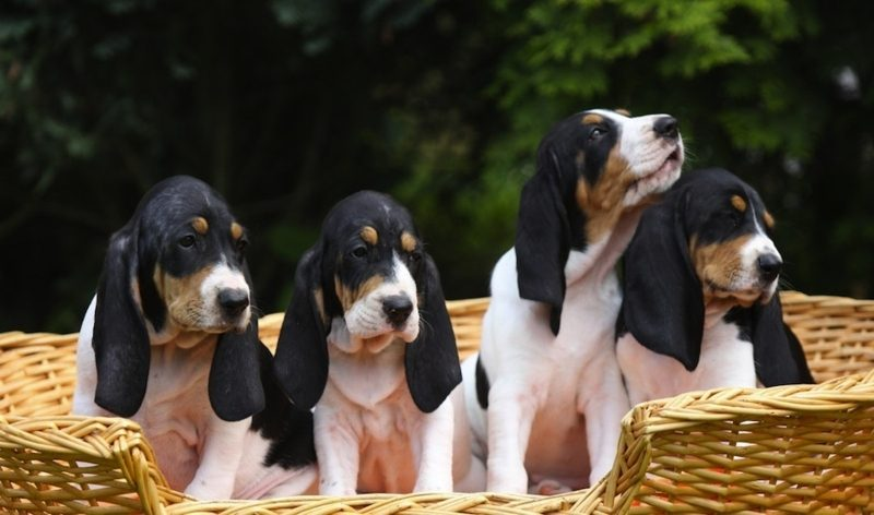Hunderassen mittelgroß Berner Laufhund