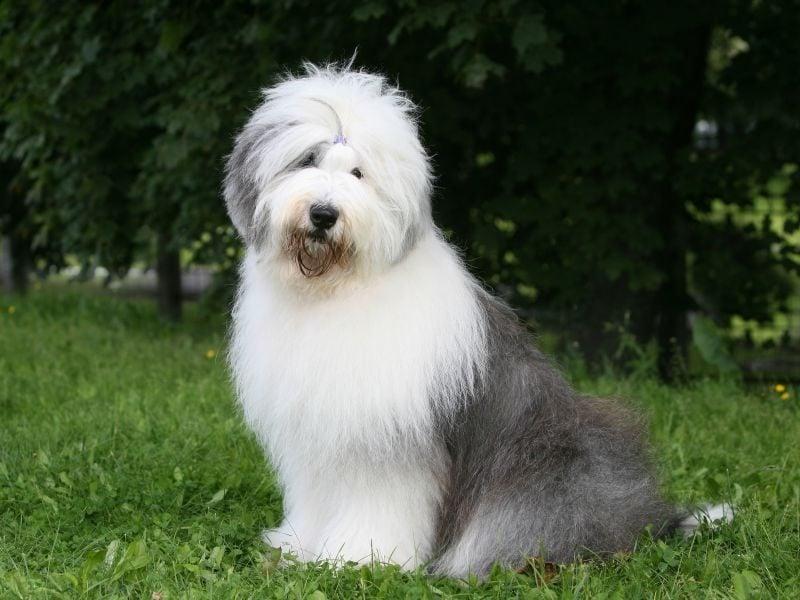 mittelgroße Hunde Bobtail