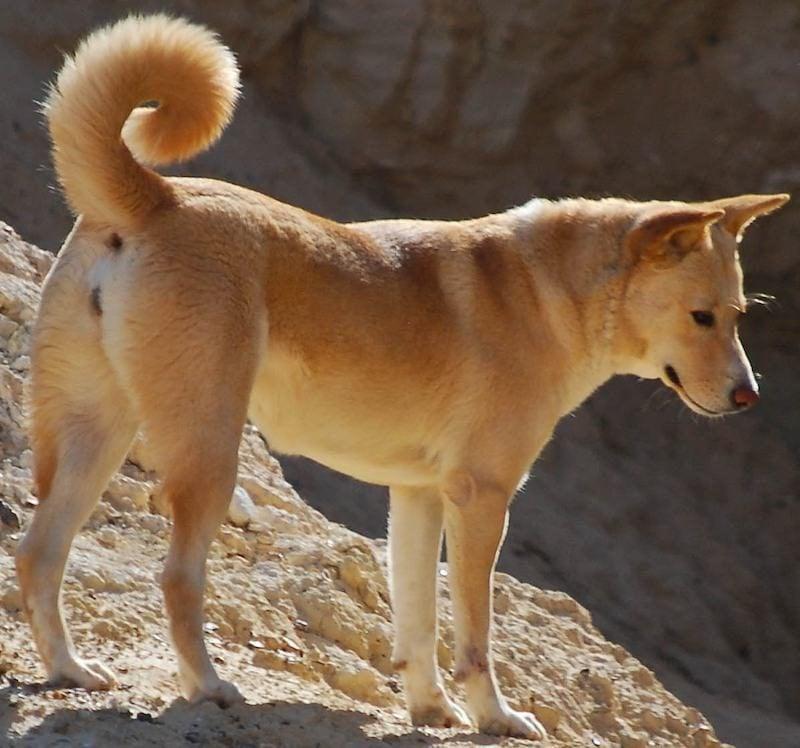 Hunderassen Bilder Canaan Dog