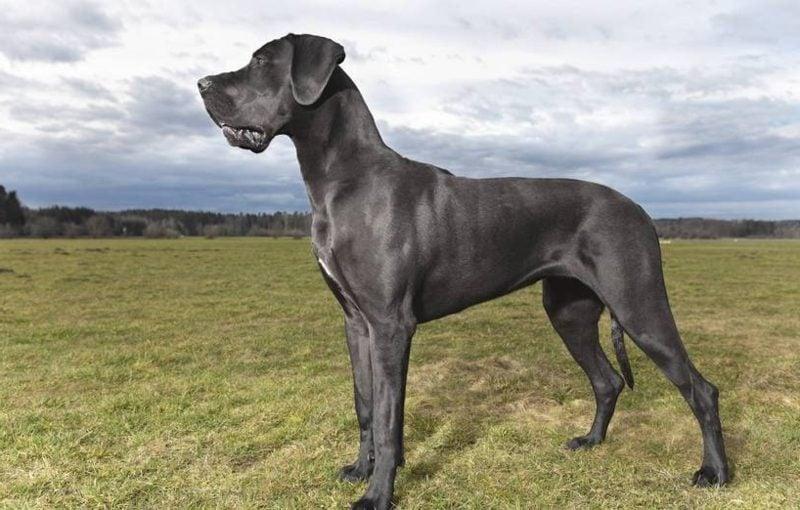 Hunderassen groß Deutsche Dogge
