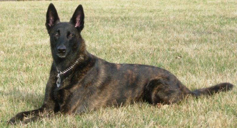 alle Hunderassen große Hunde Deutsche Shepherd Schäferhundrassen