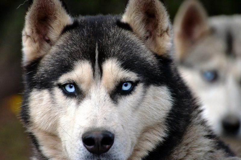 neue Hunderassen Husky Siberian