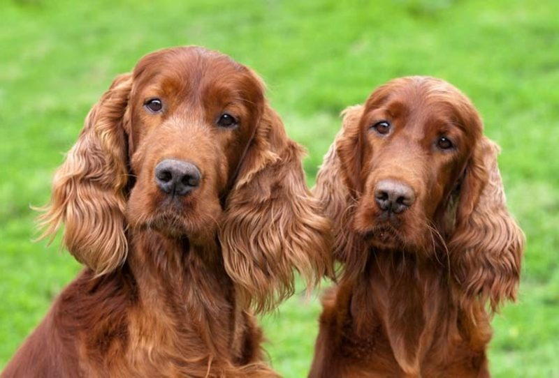 Herdenschutzhunde Rassen Irish Setter