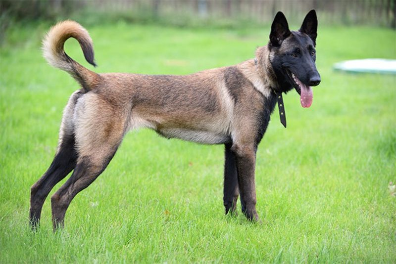 Jagdhund repräsentative Arten Malinois