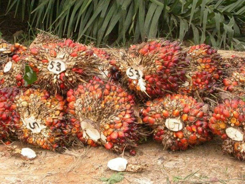 Palmölherstellung pflanzliches Fett