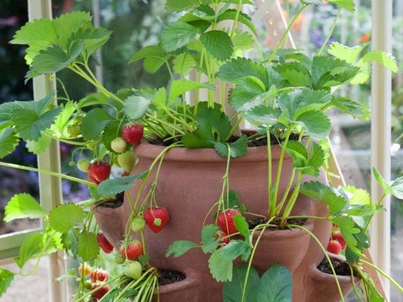 Obst und Gemüse anbauen Erdbeeren im Blumentopf