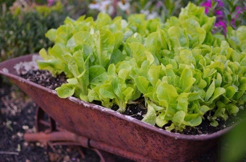 Gemüse anbauen im Blumentopf Blattsalat