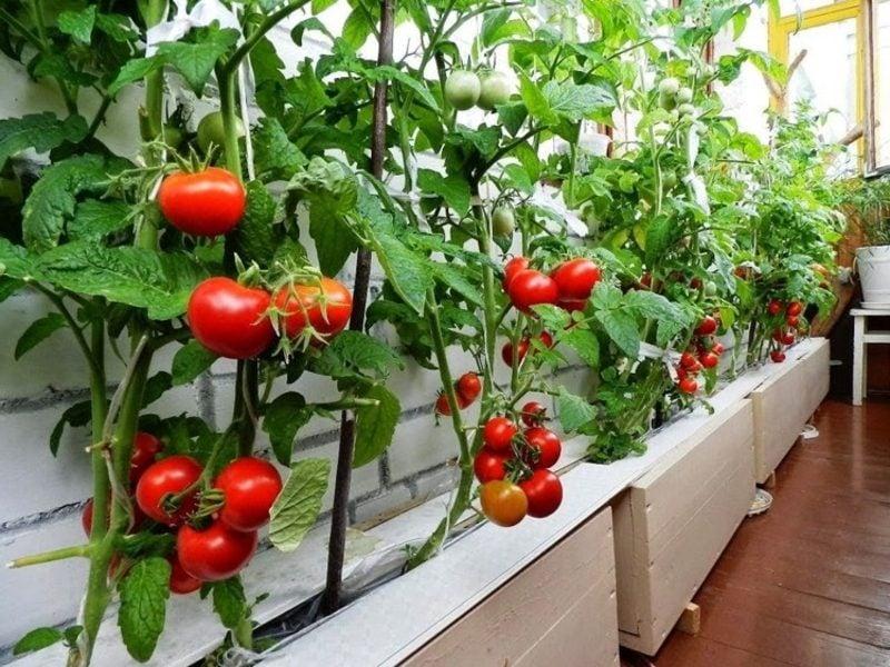 Gemüse anbauen Balkongarten Tomaten