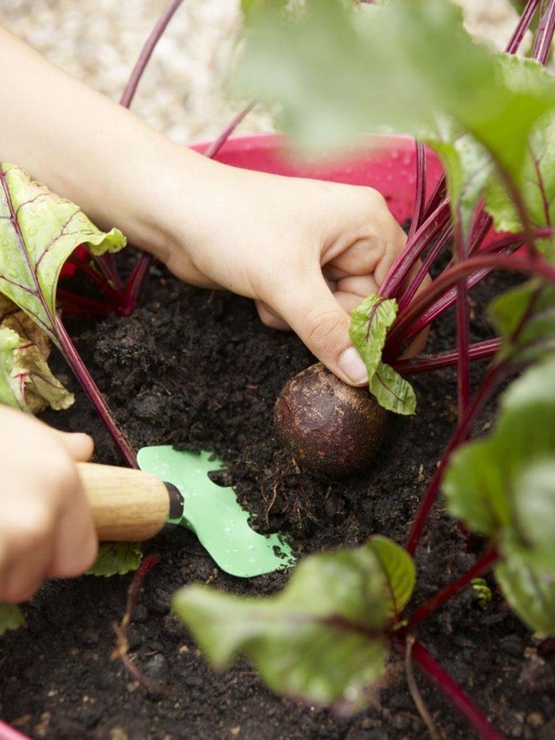 Gemüse anbauen balkongarten Sorten rote Bete