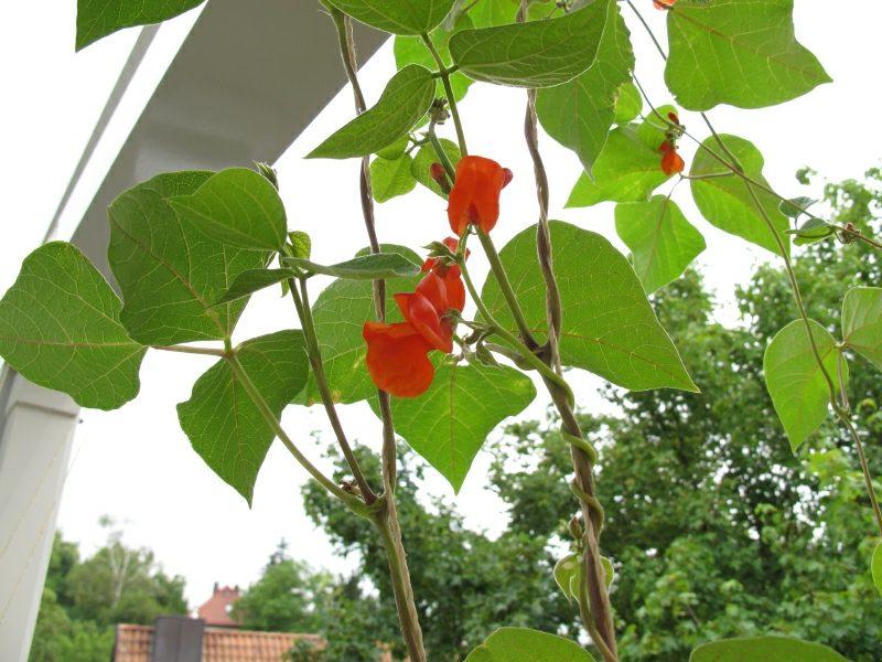Gemüse anbauen auf dem Balkon Bohnen